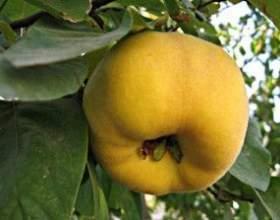 Ароматные плоды айвы для вкуснейших напитков фото