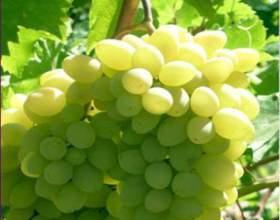 Виноград «лянфото