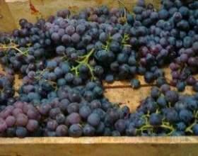 Брага из виноградного, яблочного жмыха фото