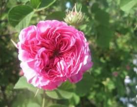 Чайная роза: полезные свойства и рецепт ликера фото