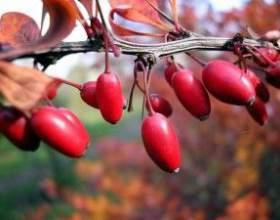 Чем полезны ягоды кизила и какие напитки можно приготовить из них фото