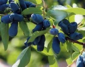 Чем полезны ягоды жимолости и какие напитки можно приготовить из них фото