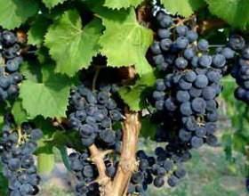 Чем привлекает вино каберне полусладкое? фото