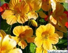 Цветы настурции с красным вином фото