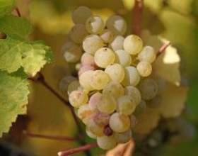 Домашняя наливка из винограда фото