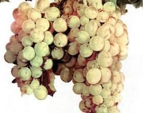 Виноград «нимран㻠фото