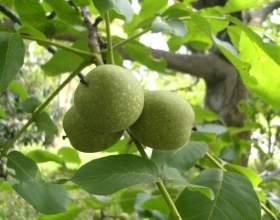 Итальянский ликер из зеленых грецких орехов фото