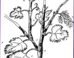 Сорта винограда (международные) фото