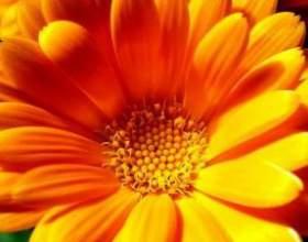 Лечение календулой – просто и эффективно фото