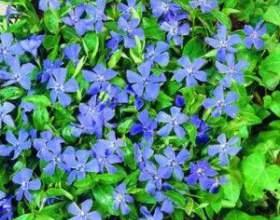Лекарственное растение барвинок фото