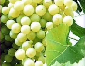 Виноград «краса северфото