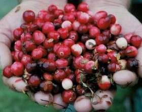 Настойка из брусничной ягоды фото