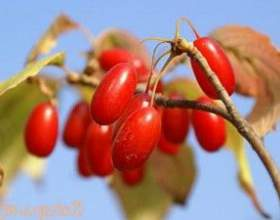 Настойка из ягод кизила фото