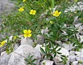 Невзрачное, но полезное растение – лапчатка прямостоячая фото