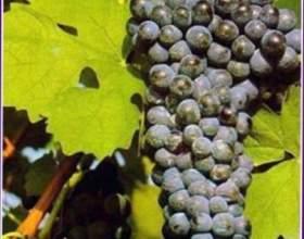 Персидская легенда происхождения вина фото