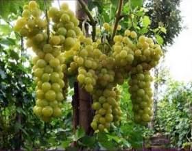 Виноград «болгария устойчивая» фото