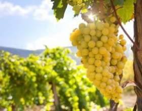 Рецепт вина из винограда кишмиш фото