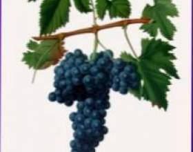 Виноград — дерево жизни фото