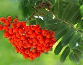 Самогон и брага из черноплодной и красной рябины фото