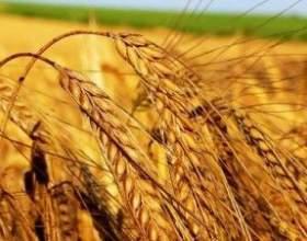 Самогон из пшеницы фото