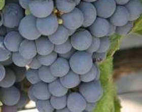 Самогон из винограда сорта изабелла фото