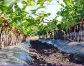Саженцы винограда фото