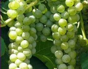 Виноград «италия» фото