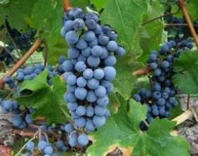 Винные сорта винограда фото