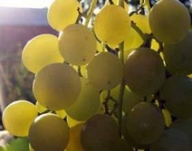 Виноград белая роза фото