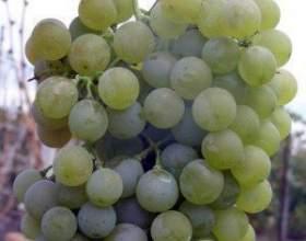 Виноград цветочный фото