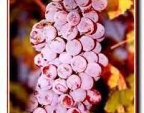 Виноград днестровский розовый фото