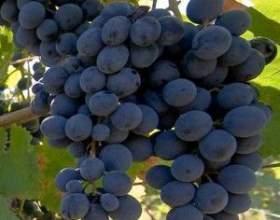 Виноград дойна фото
