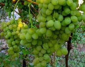 Виноград иринка фото