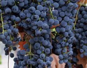 Виноград карменер чили фото