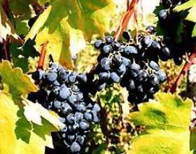 Виноград кутузовский фото
