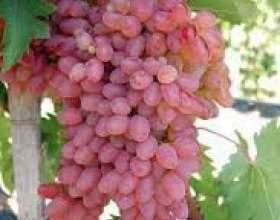 Виноград мечта фото