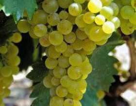 Виноград мускат белый фото