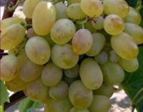Виноград «новый подарок запорожью» фото