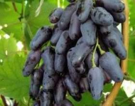 Виноград одесский черный фото