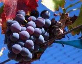 Виноград пино нуар фото