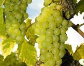 Виноград рислинг фото