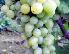 Виноград серафимовский фото