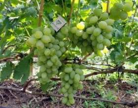 Виноград тамерлан фото