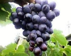 Виноград таврия фото