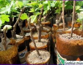 Выращивание винограда фото