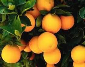 Апельсиновая настойка фото